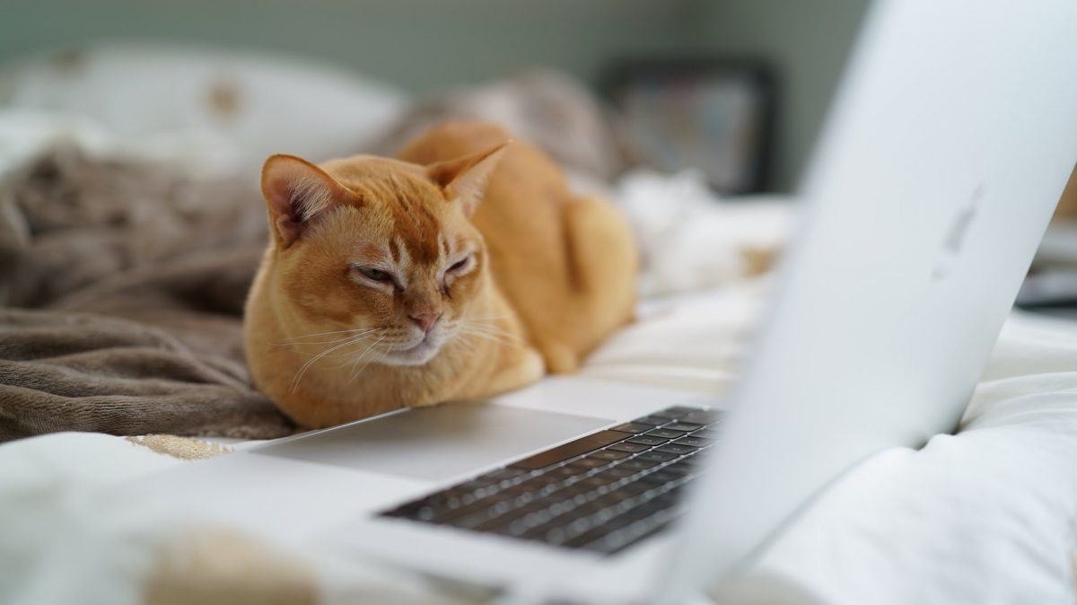 A cat stares at a laptop