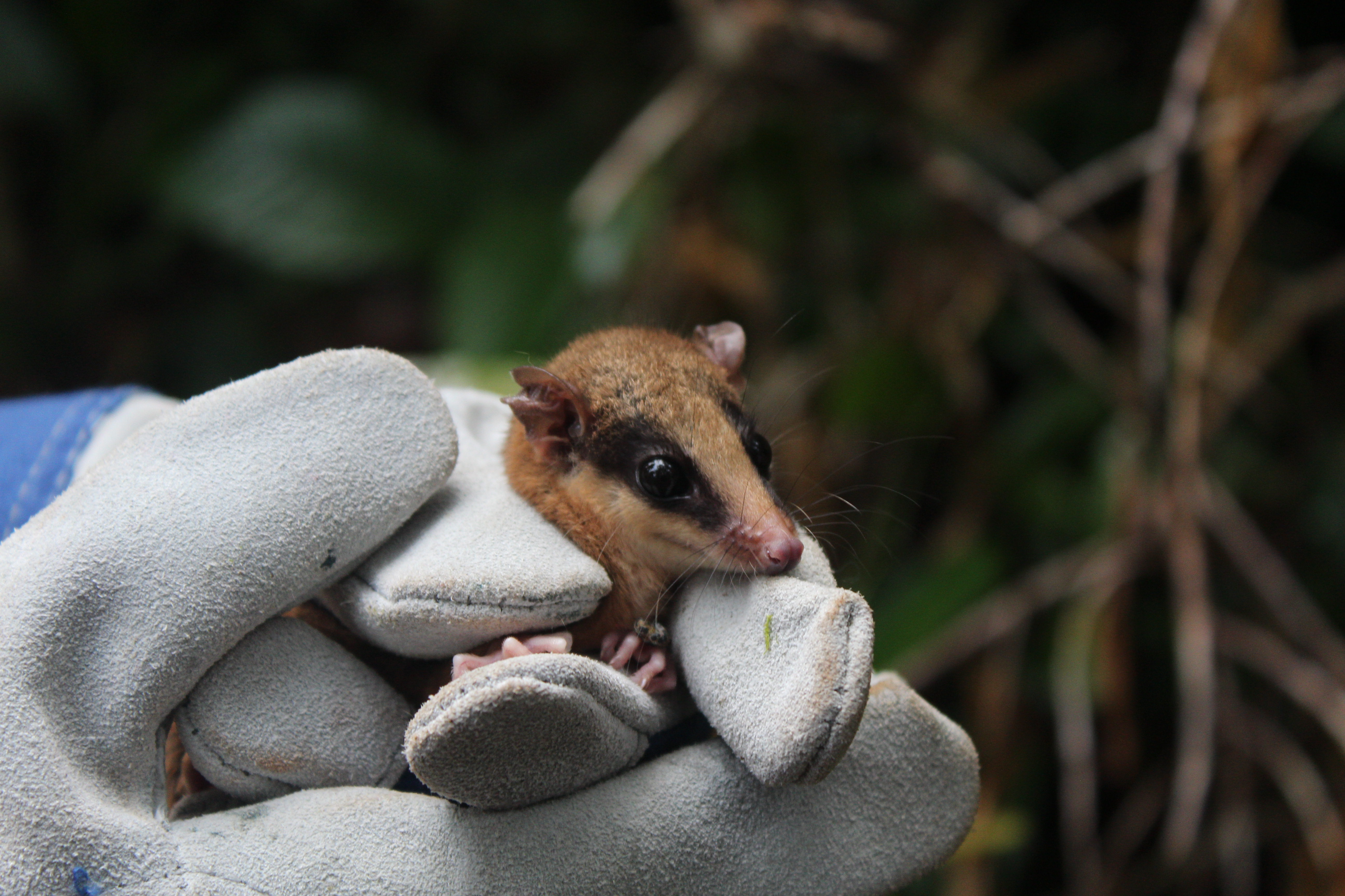 Evie, Mouse Possum