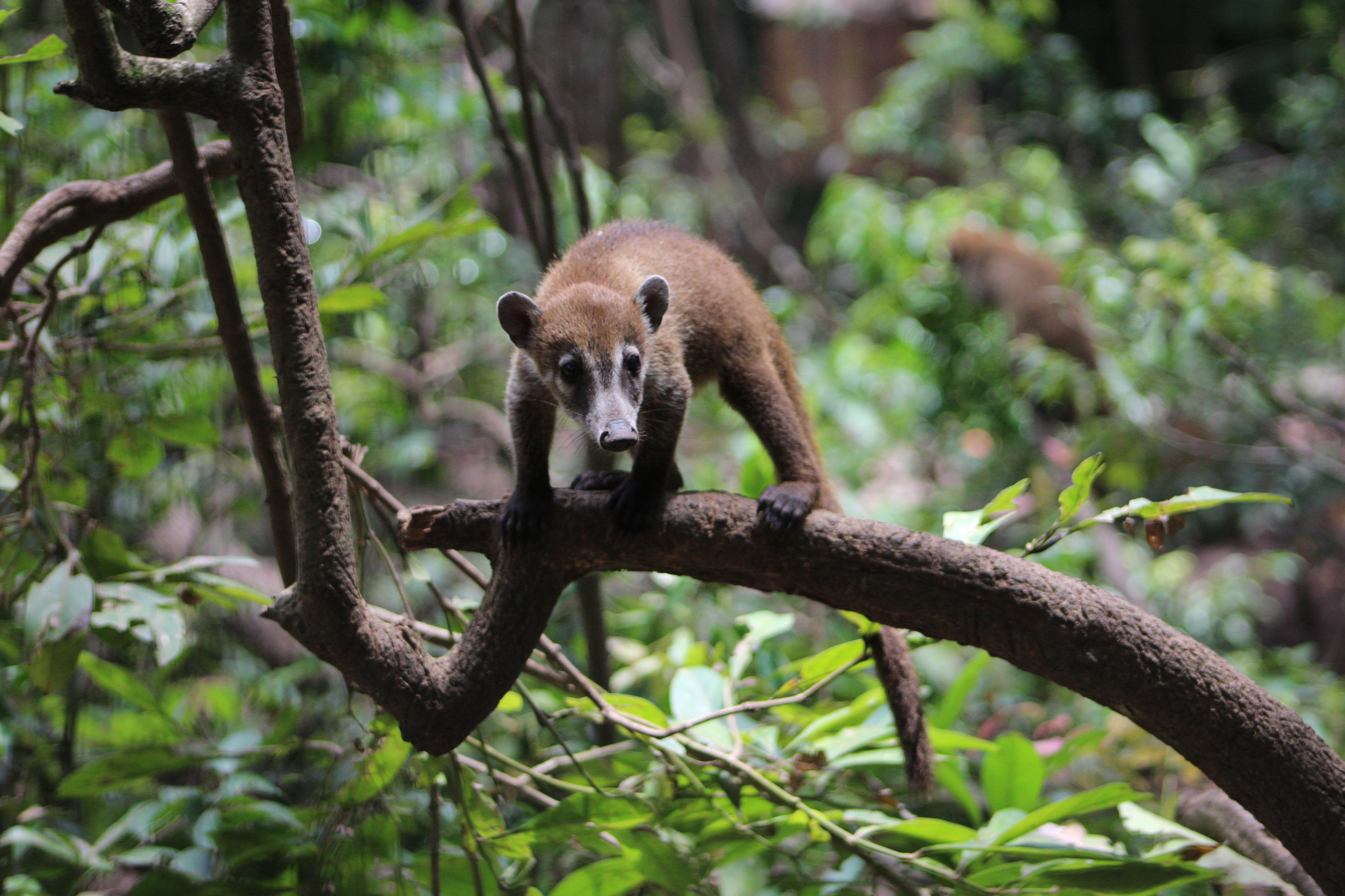 Evie, Belize Zoo