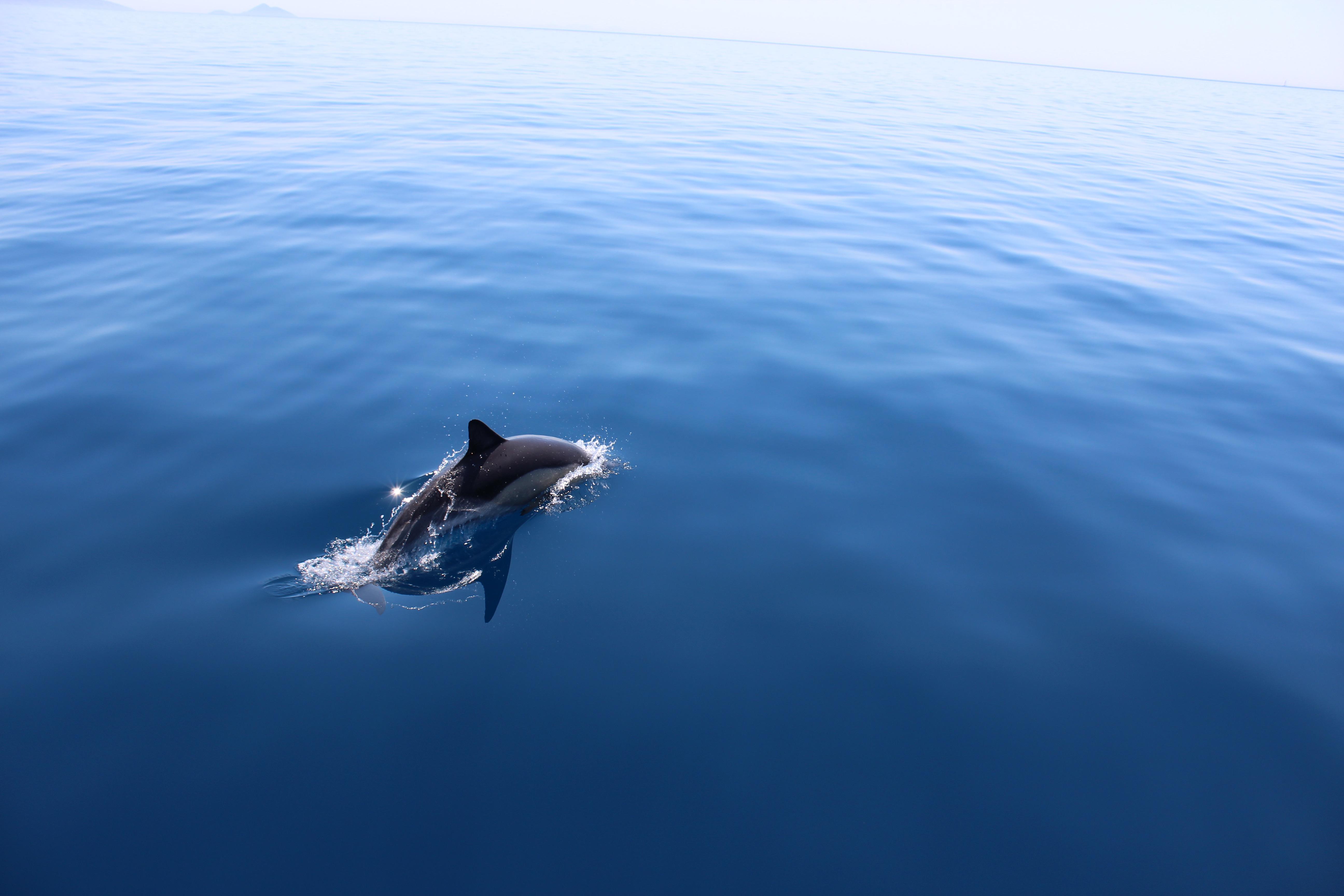 Evie, Dolphin, Greece