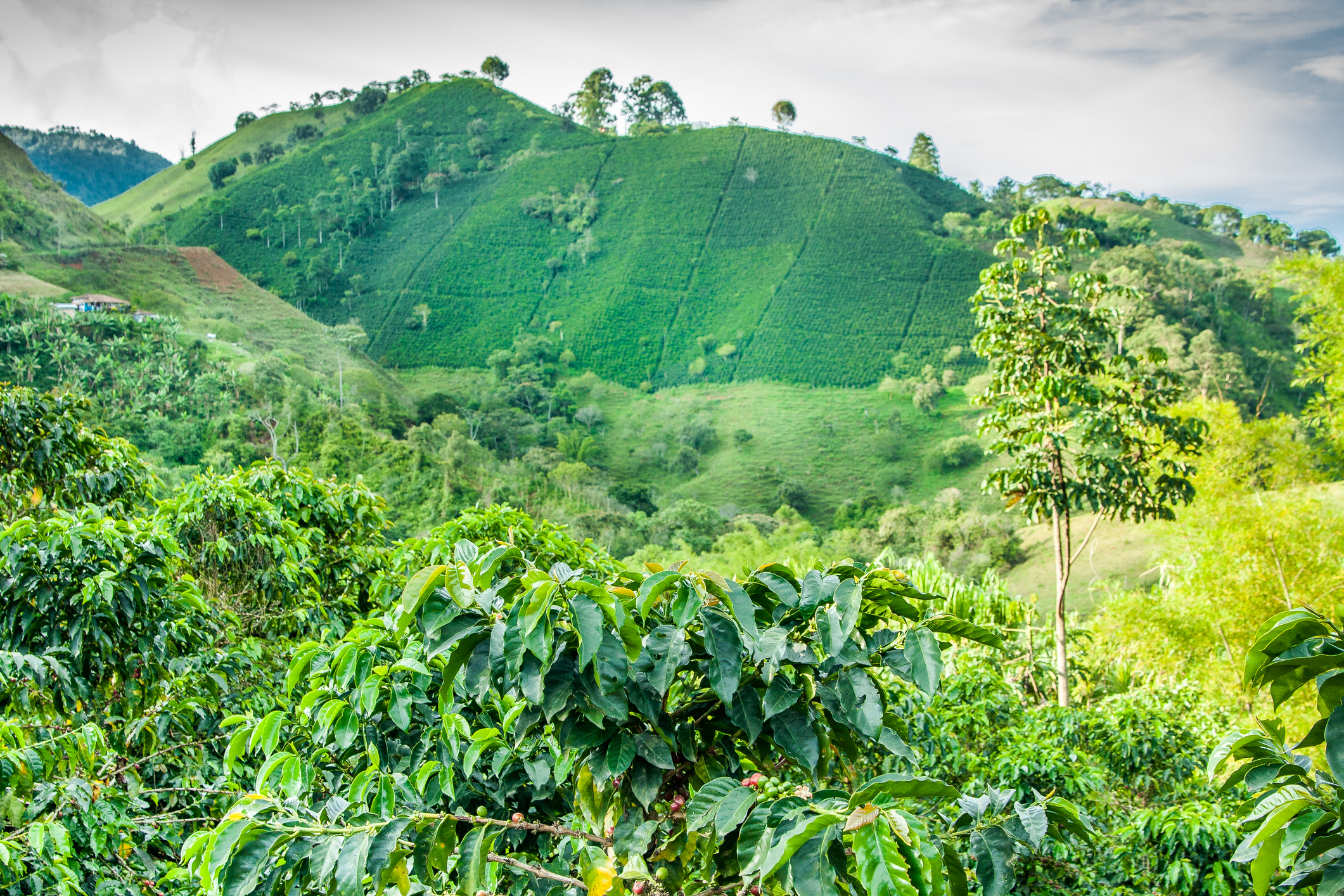 Coffee Plantation in Jerico Colombia