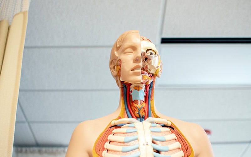 A shot of a medical dummy which is split down the face to show the skin on one side but on the other side it shoes teach individual muscles, bone and different layers of the part of the human body.